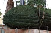 Ornately shaped hedges on the retaining wall